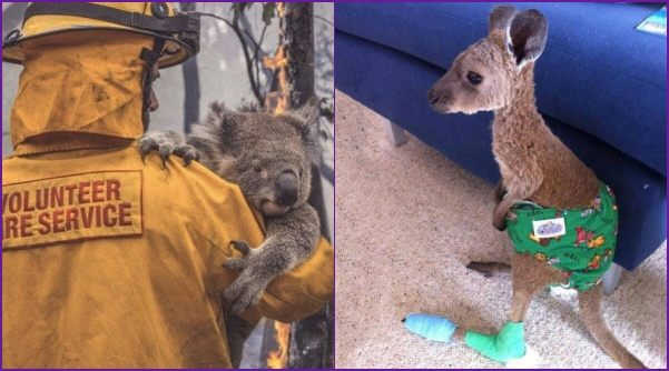 Rescued-kangaroos-and-koalas
